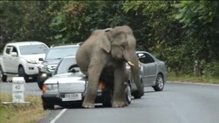 The elephant climbs on top of one car, while other vehicles try to turn back