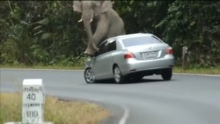 The wild elephant smashes this car's mirror before ripping off the bumper
