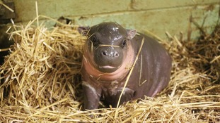 The baby pygmy hippo born at Whipsnade Zoo.