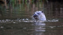 An otter on the River Caldew in the Denton Holme area of Carlisle.