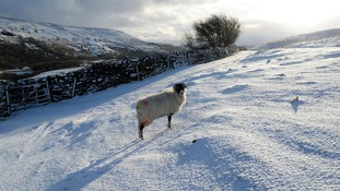 A sheep stands in a snow covered field near Reeth in North Yorkshire.