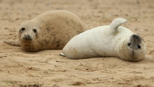 Seals lay on the beach at Blakeney Point