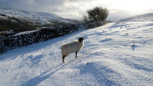 A sheep in a snowy field