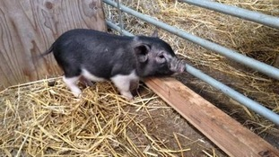Micro-pig