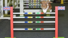 Mio, one of the show jumping rabbits clears a hurdle in Harrogate