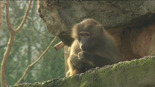 Why this baboon's a Bee Gees fan
