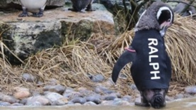 Ralph the penguin in wetsuit