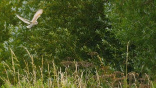 Farmers encouraged to make land more wildlife friendly to help revive the Barn Owl population