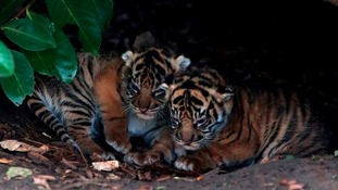 The cubs emerge from their den