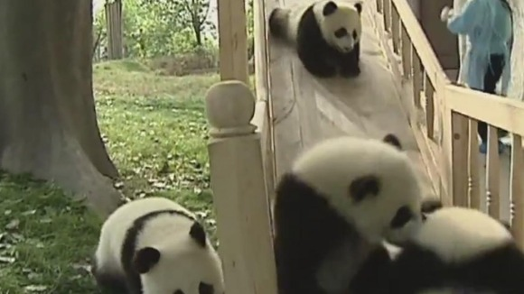 Pandas gather in a heap at the bottom of the slide as another slips down it