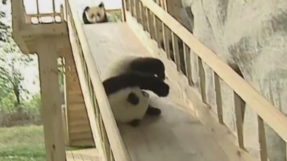 A panda cub takes a tumble while on a slide at China's Chengdu Panda Base as another panda cub looks on