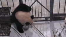 Video shows giant panda squeezing through iron bars.