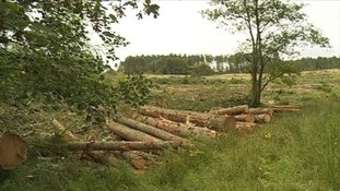 Work to fell the infected trees at Galloway Forrest Park is ongoing.