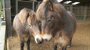 Exmoor ponies are an endangered breed