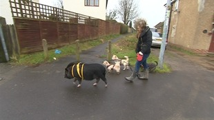 Fella goes for walks with his owner's dogs.