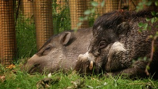 The two pigs pictured in happier times