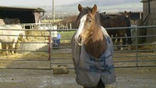 Carole Fielding is currently caring for over 90 horses at her sanctuary near Melton Mowbray.