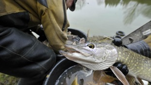Pike at Caen Hill locks