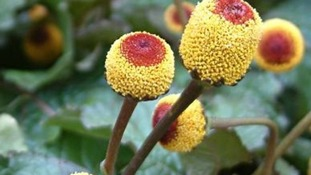 Cambridge scientist says Amazonian plant cures toothache