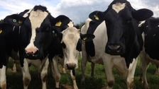 Cows in a Cambridgeshire field