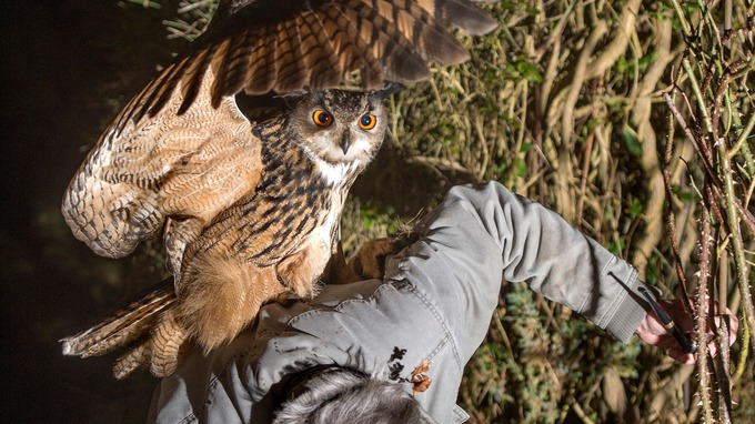 This eagle owl could be one of the biggest in the world