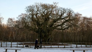 Dog walkers walk past The Major Oak in Sherwood Forest