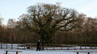 Dog walkers walk past The Major Oak in Sherwood Forest