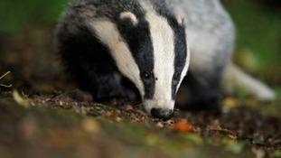 Members of the Badger Trust spoke to Liz Truss in her London office