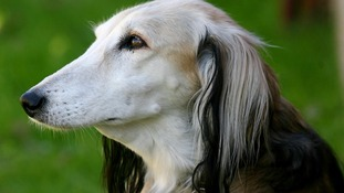 A picture of the breed of dog which was stolen