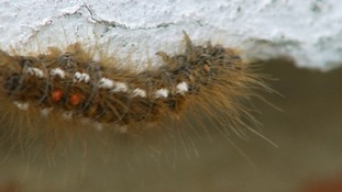 An oak processionary moth.