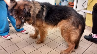 Dog is being cared for at RSPCA animal hospital