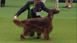 Noodle is the same Irish Setter breed as Jagger.