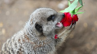 A meerkat chewing on a rose
