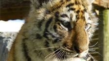 Zoo keepers say the tiger trio are getting bolder by the day