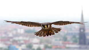 £1,000 to catch killer who shot a Peregrine Falcon