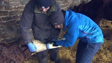 Nicola Hendy helps feed a newborn calf