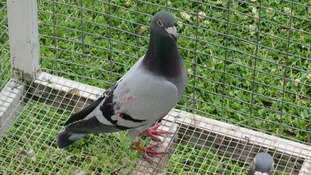 Cannock pigeon that was found in Canada