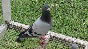 Percy the pigeon was found in Canada, 3000 miles away from its home in Cannock