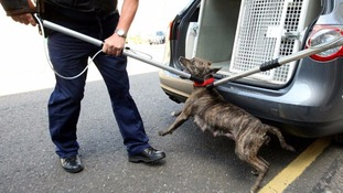 Metropolitan Police dog handlers removing a pitbull during a raid.