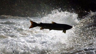 Salmon on the River Tweed
