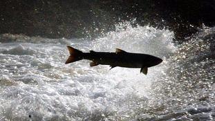 Salmon on the River Tweed