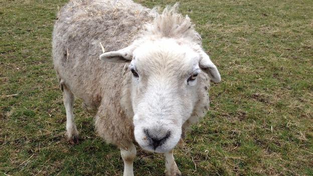 OLDEST_SHEEP_LK