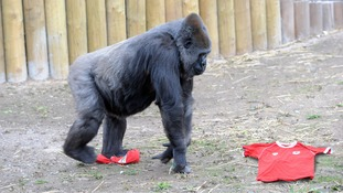 Bristol Zoo's gorillas have put their support behind the Robins