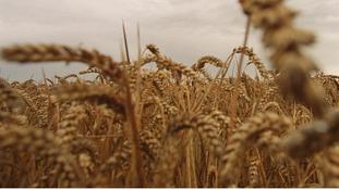 Genetically modified oilseed rape