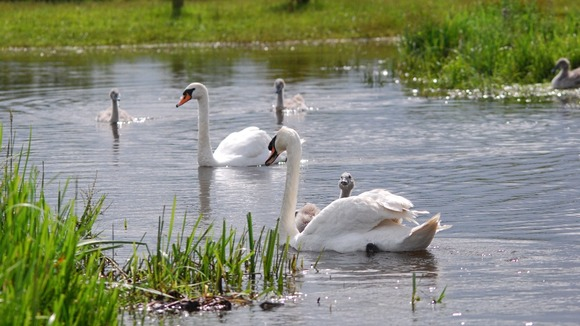 Swans swimming over what is usually a path at Doxey Marshes