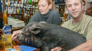 Minesweeping pig barred from pub for headbutting punters.