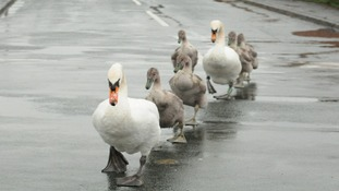 swans crossing wet road