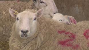 Lambing season in the Scottish Borders
