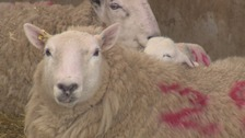 Lambing is a long, and sometimes difficult, process.