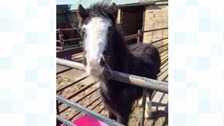 simon horse